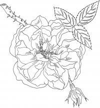 Цветок шиповника Раскраски для взрослых скачать